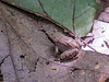 small Wood Frog, Emmons Preserve, Kennebunkport ME
