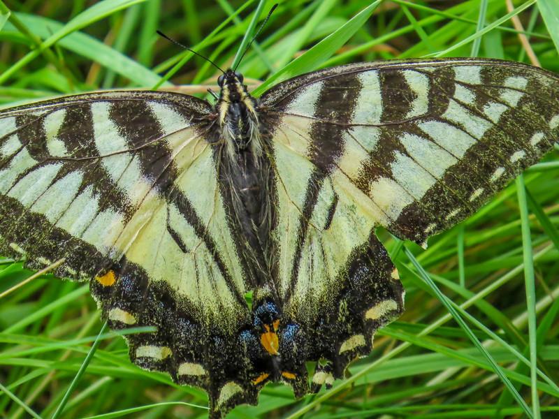 Tiger Swallowtail, Emmons Preserve, Kennebunkport, ME