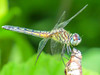 Fm Blue Dasher, Emmons Preserve, Kennebunkport ME