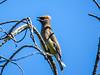 Cedar Waxwing, Emmons Preserve, Kennbunkport, ME