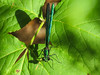 Ebony Jewelwing, Emmons Preserve, Kennbunkport, ME