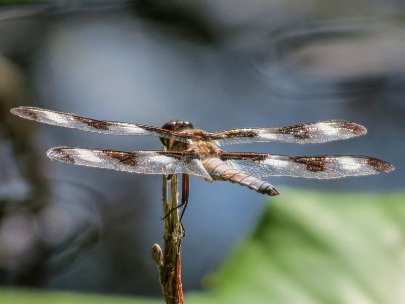 Twelve-spotted Skimmer, Emmons Preserve, Kennebunkport, ME