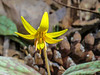 Trout Lily, Emmons Preserve, Kennebunkport, ME