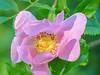 Wood (Wild) Rose, Kennebunk Bridle Path, Kennebunk ME