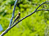 Cedar Waxwing, Kennebunk Bridle Path, Kennebunk ME