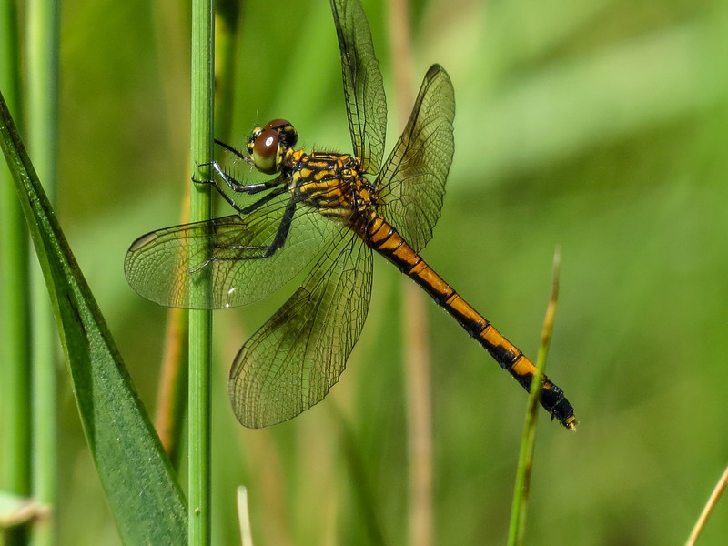 Female Seaside Dragonlet, Kennebunk Bridle Path, Kennebunk ME