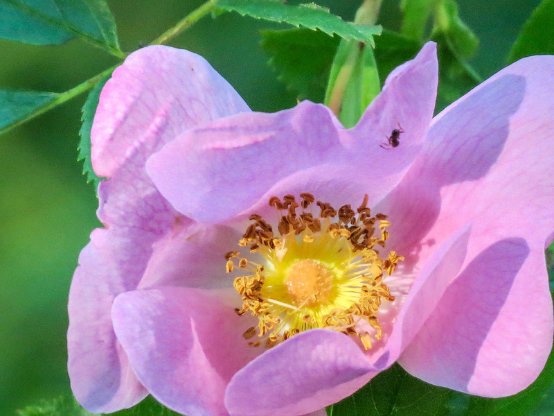 Wood (Wild) Rose, Kennebunk Bridle Path, Kennebunk ME