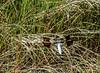 Common Whitetail, Kennebunk Birdle Path, Kennebunk ME