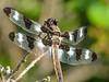Twelve-spotted Skimmer, Kennebunk Bridle Path, Kennebunk ME
