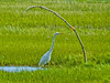 Great Egret, Kennebunk Bridle Path, Kennebunk ME