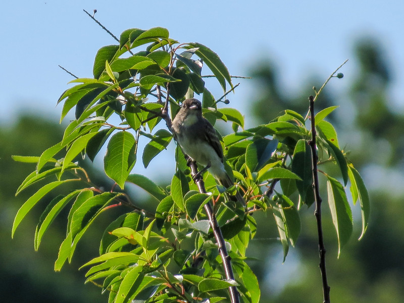 Eastern Phoebe, Kennebunk Bridle Path, Kennebunk ME