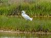 Snowy Egret, Kennebunk Bridle Path, Kennebunk ME