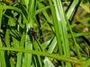 Racket-tailed Emerald,  Kennebunk Bridle Path, Kennebuni ME