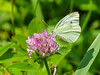 Cabbage White, Kennebunk Bridle Path, Kennebunk ME