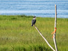 Belted Kingfisher, Kennebunk Bridle Path, Kennebunk ME