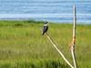 Belted Kingfisher, Kennebunk Bridle Path, Kennebunk ME