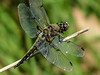 Four-spotted Skimmer, Kennebunk Bridle Path, Kennebunk ME