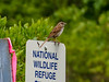 Song Sparrow, Kenenbunk Bridle Path, Kennebunk ME