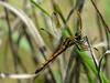 Female Seaside Dragonlet, Kennebunk Bridle Path, Kennebunk ME