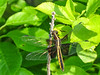 Widow Skimmer (female), Kennebunk Bridle Path, Kennebunk ME