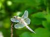 Four-spotted Skimmer, Kennebunk Bridle Path, Kennebuni ME