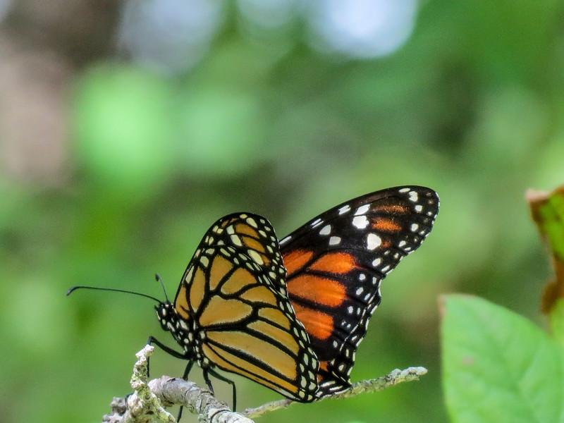 Monarch, Kennebunk Bridle Path, Kennebunk ME