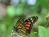 Monarch, Kennebunk Bridle Path, Kennebunk ME