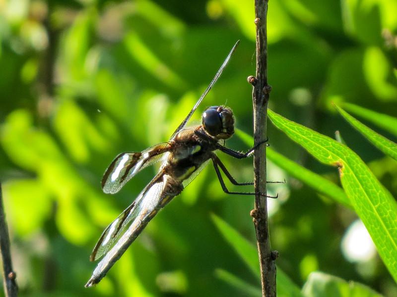 Twelve-spotted Skimmer, Kennebunk Bridle Path, Kenenbunk ME