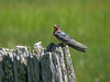 Im. Barn-swallow, Kennebunk Bridle Path, Kennebunk ME