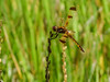 Painted Skimmer, Kennebunk Bridle Path, Kennebunk ME
