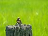 Im. Barn-swallow, Kennebunk Bridle Path, Kennebunk ME