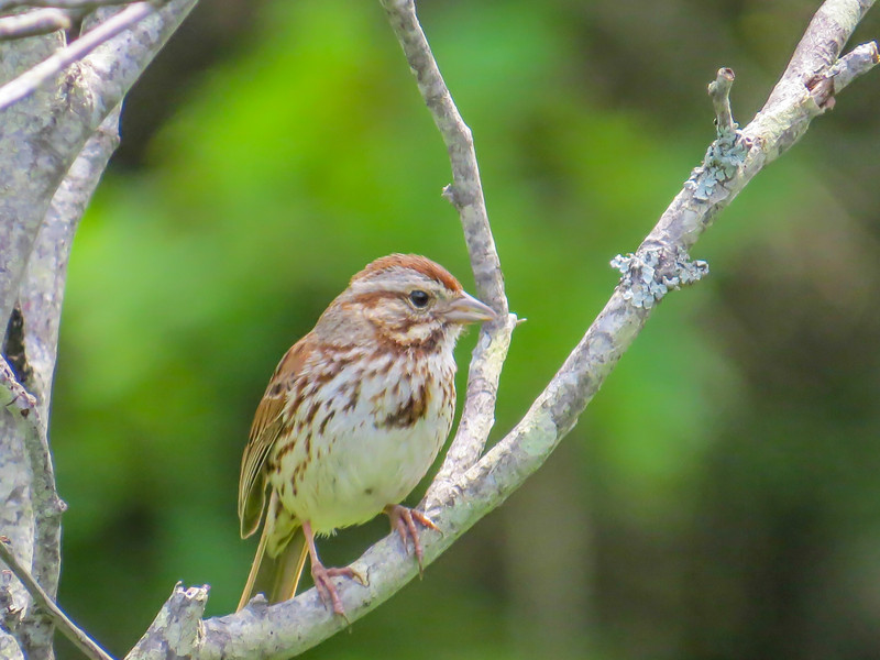 Song Sparrow, Kennebunk Bridle Path, Kennebunk ME