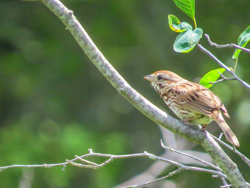 Song Sparrow, Kennebunk Bridle Path, Kennebunk ME