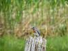 Eastern Bluebird, Kennebunk Bridle Trail, Kennebunk ME