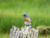 Eastern Bluebird, Kennebunk Bridle Trail, Kennebunk ME