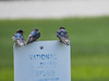 Barn Swallows, Kennbunk Bridle Path, Kenebunk ME