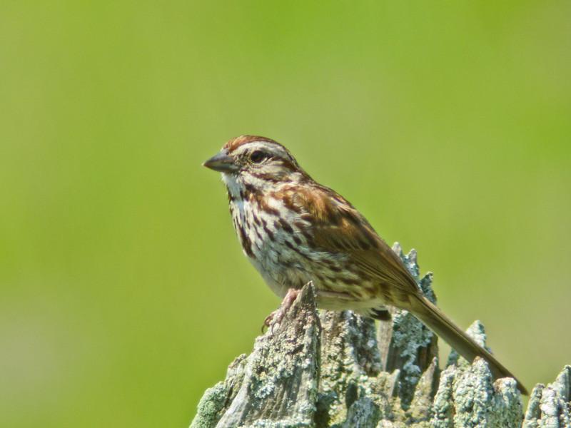 Song Sparrow, Kennebunk Bridle Path, ME 7/2010, Digiscoped, DiaScope65FL