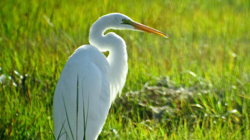 Great Egret, Kennebunk Bridle Path, Kennebunk ME DigiScoped, DiaScope 85FL 9/10