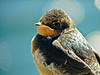 Im. Barn Swallows, Kennebunk ME, DiaScope 85FL