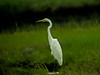 Great Egret, Kennebunk Bridle Path, ME, Digiscoped, Zeiss DiaScope