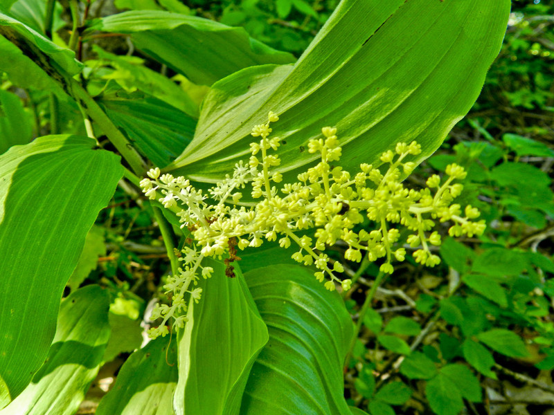 False Solomon's Seal, Kennebunk Bridle Path, Kennebunk ME