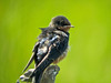 Im. Barn Swallows, Kennebunk ME, DiaScope 65FL