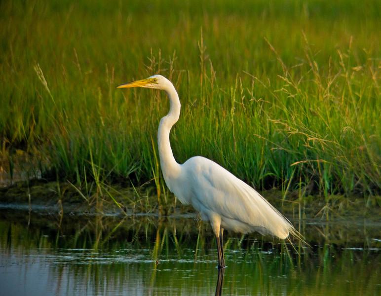 Great Egret, Kennebunk Bridle Path, ME 7/10