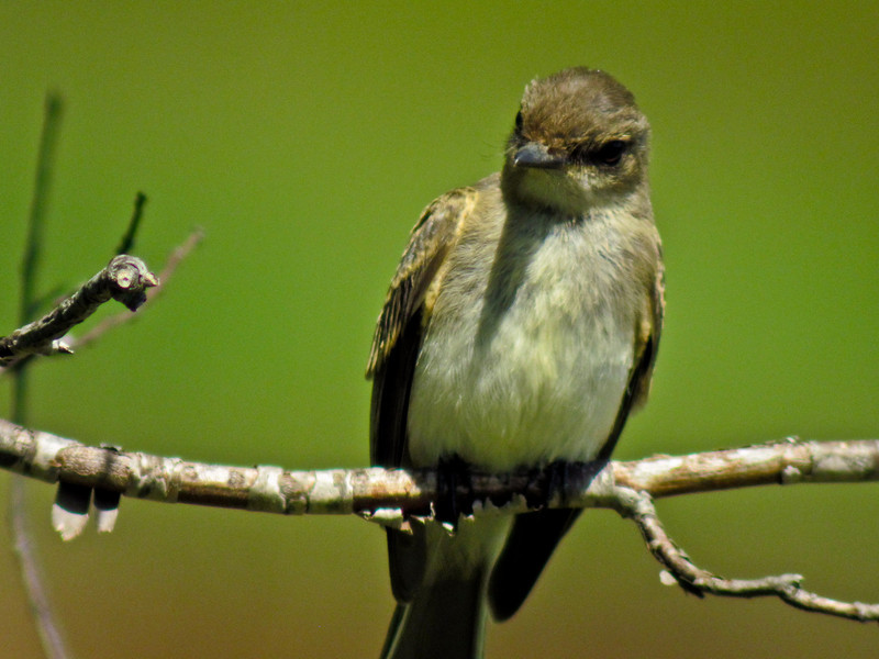 Im E. Woodpewee, Kennebunk Bridle Trail, ME 7/10 Digiscoped, ZEISS DiaScope