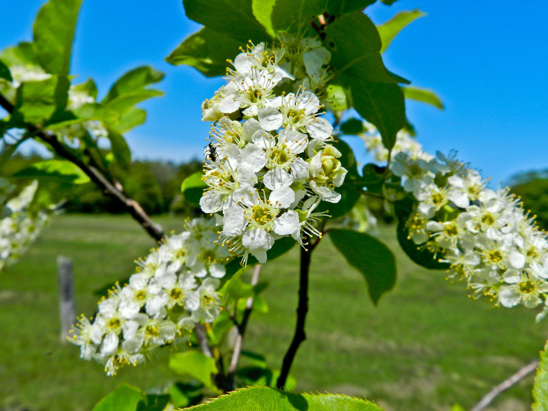 chokecherry, Kennebunk Bridle Path, Kennebunk ME