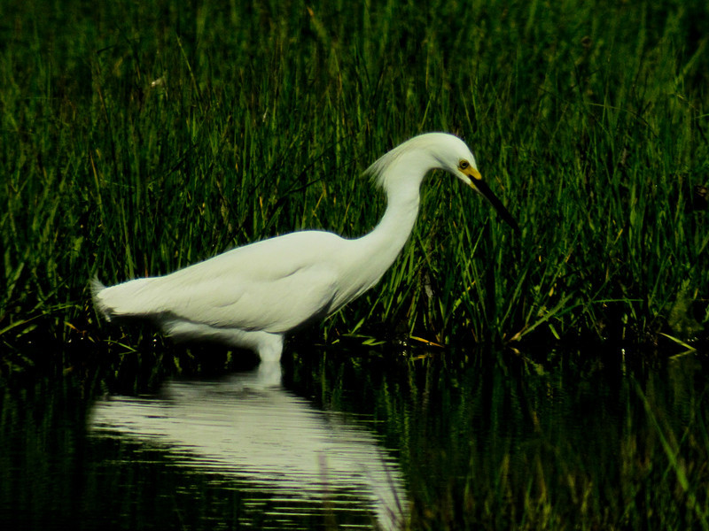 Snowy Egret: Kennebunk Bridle Path, ME 7/2010 Digiscoped, DiaScope65