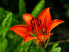Wood Lily. Kennebunk Bridle Path, 7/2010