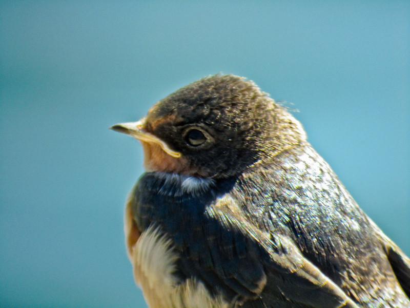Im. Barn Swallows, Kennebunk ME, DiaScope 85FL