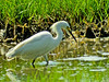 Snowy Egret, Kennebunk Bridle Path, ME 8/10