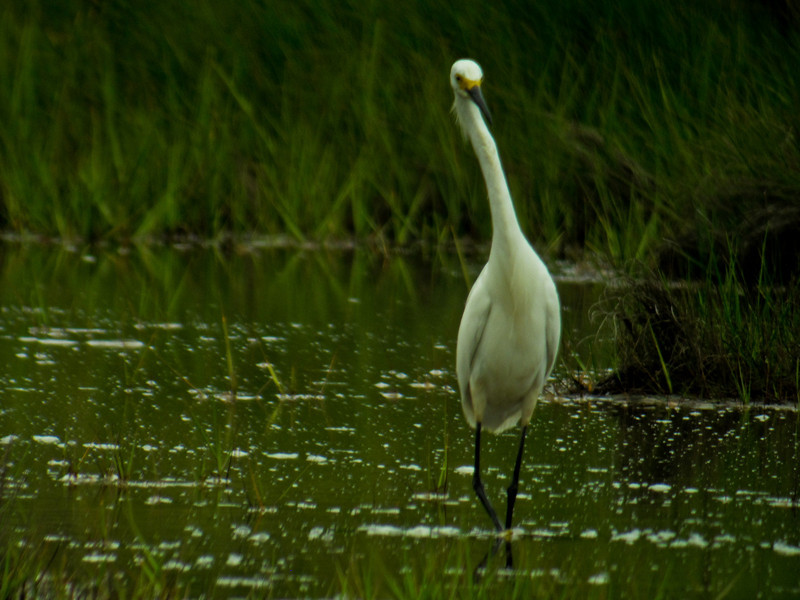 Snowy Egret, Kennebunk Bridle Trail, ME, 7/10 Digiscoped, ZEISS DiaScope